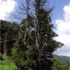 北の一本杉