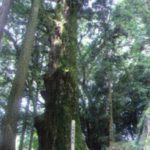 二上神社の大杉